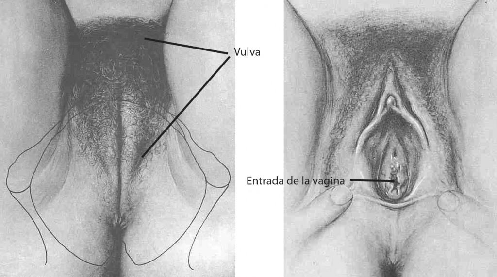 Diferencia entre vulva y vagina